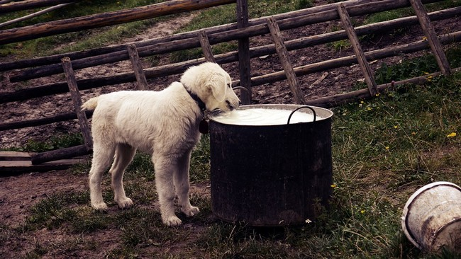 milk and dairies not suitable for dog